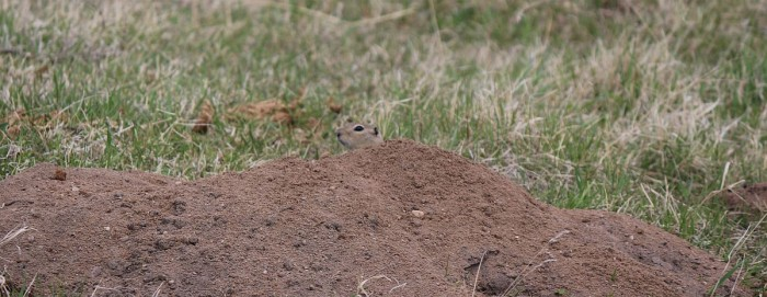 If you can spot the side profile of a gopher's head, you'll find lots more in the field.